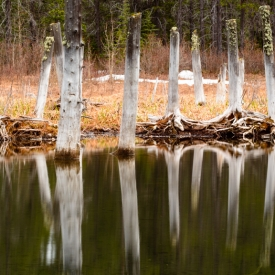 ©chris bone - tree stump reflections