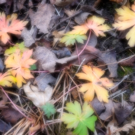 ©chris bone - softened fall leaves