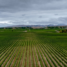 ©chris bone - vineyard - marlborough