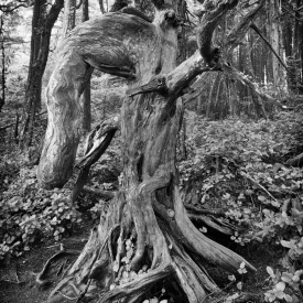 ©chris bone - old tree ucluelet